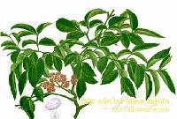 Bài thuốc chữa thấp khớp từ cây gối hạc