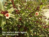 Tìm hiểu những lợi ích từ Hibiscus