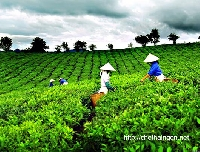 Chè Thái Nguyên nơi hội tụ tinh hoa ngành chè Việt